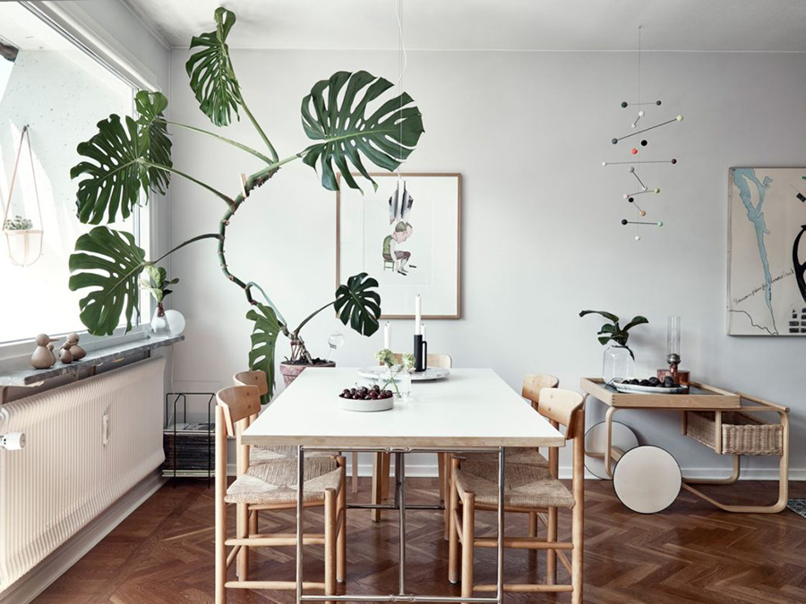 decoración con plantas de interior - monstera deliciosa