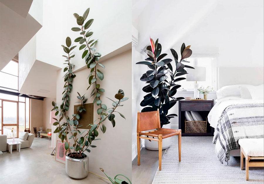Ficus - Decoración con plantas de interior